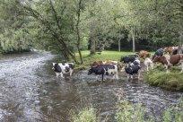 Viehdrift durch die große Nister 1