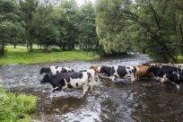 Viehdrift durch die große Nister 2
