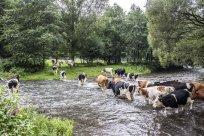 Viehdrift durch die große Nister 3