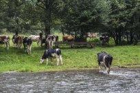 Viehdrift durch die große Nister 4